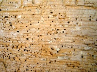 Spotting Woodworm